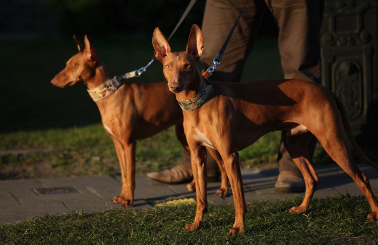 Чирнеко - две собаки