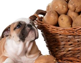 Можно ли давать собаке картошку?