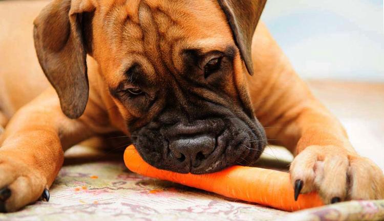 Собака кушает морковь
