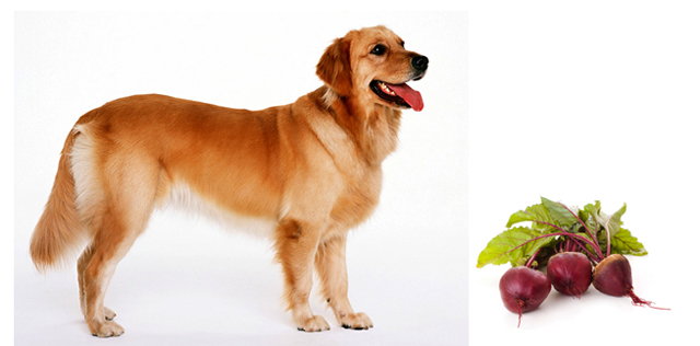 Собака и свекла