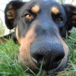 Если собаку укусила оса (в морду, язык, губу, лапу) — что делать