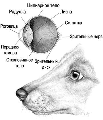 Строение глаза собаки