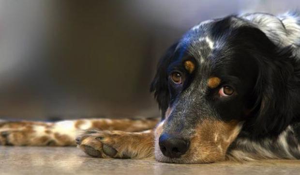 Собака во время болезни