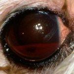 Кровоизлияние в глаз у собаки: причины и лечение