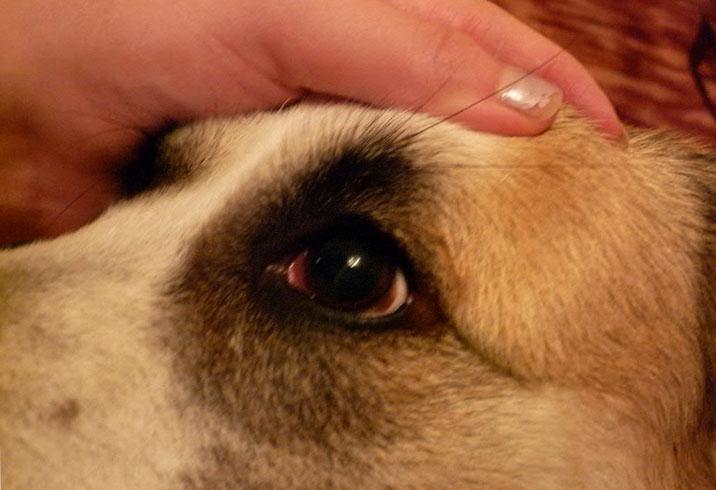 Конъюнктивит глаз собаки