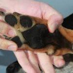 Собака хромает на переднюю лапу — причины и что делать