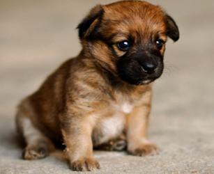 Бордер терьер - щенок