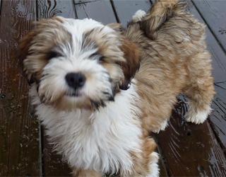 Тибетский терьер - щенок