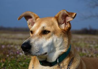 Каролинская собака - морда