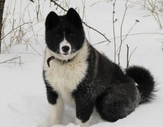 Русско-европейская лайка в снегу