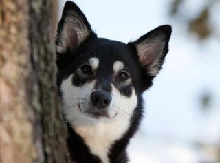 Лопарская оленегонная собака за деревом