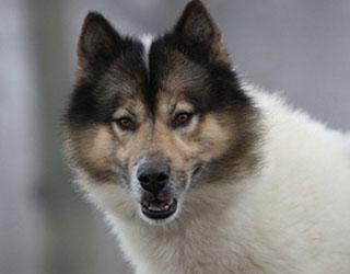 Гренландская собака - мордочка