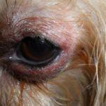 Отек глаз у собак: причины и что делать