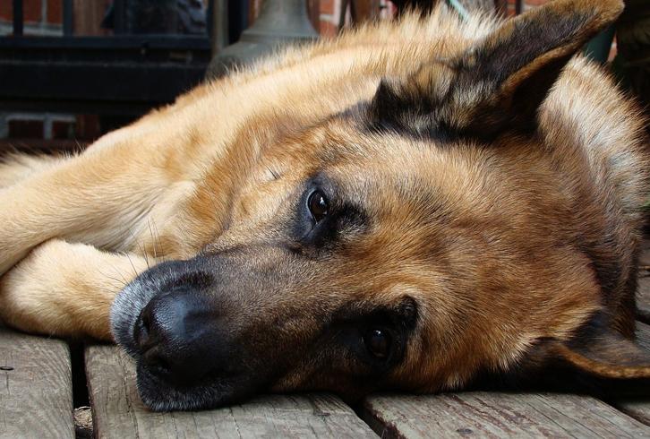 Собака, у которой сломан палец