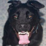 Столбняк у собак: симптомы и лечение
