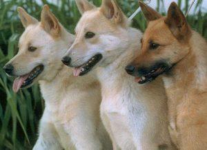 Ханаанская, описание породы, характер, Все о собаках
