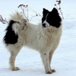 Ненецкая лайка(Оленегонный шпиц) — описание, характеристика, фото