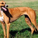 Австралийская борзая кенгуровая собака — описание, характер, фото