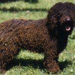Испанская водяная собака.Описание породы, характер, фото