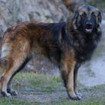 Эштрельская овчарка — описание и фото породы
