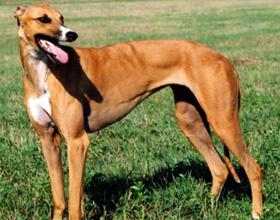 Австралийская борзая кенгуровая собака