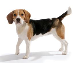 Уреаплазмоз у собак