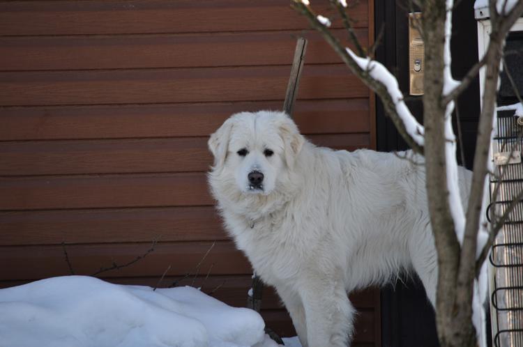 Словацкий чувач на снегу