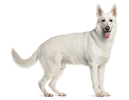 Хвост по середине у собаки