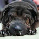 Воспаление легких у собак: причины, симптомы и лечение