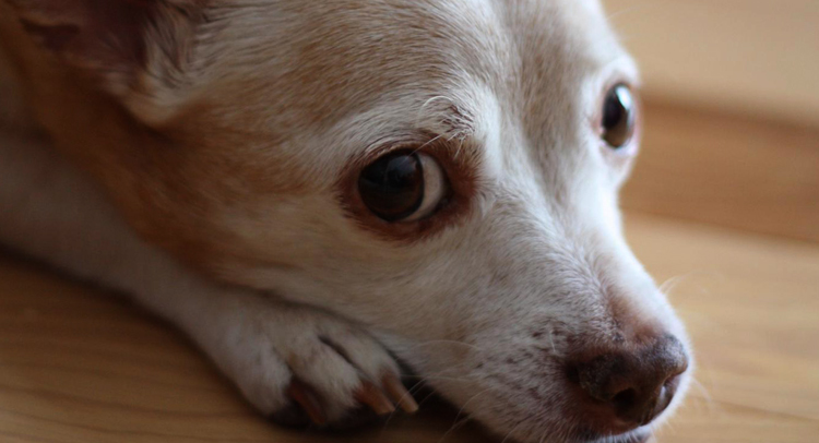 Собака с кашлем