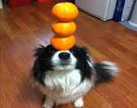 Можно ли давать собакам апельсин и апельсиновый сок