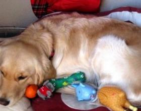 Ложная беременность у собаки чем лечить