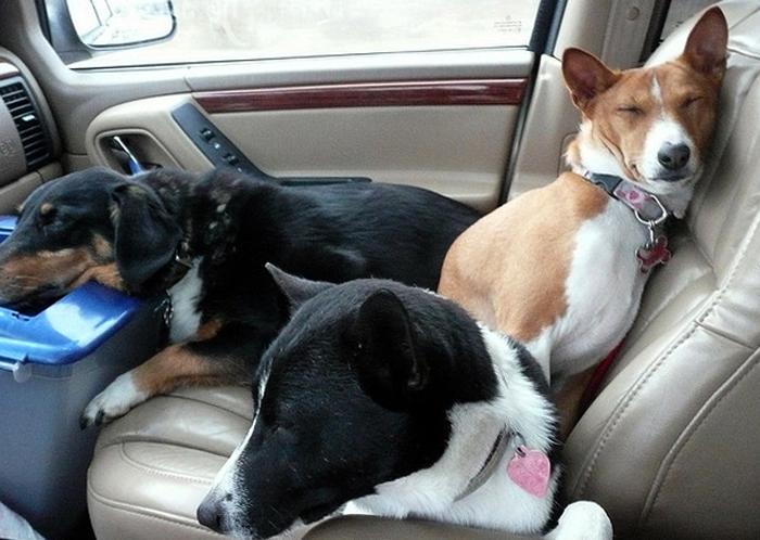 Собаки в закрытой машине