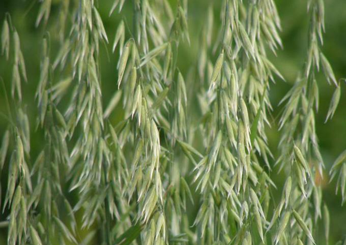 Злаковая трава