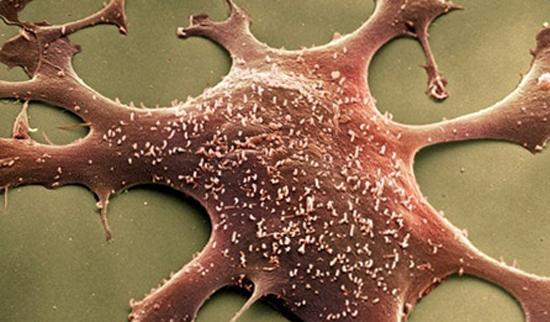 Mycoplasmatacea