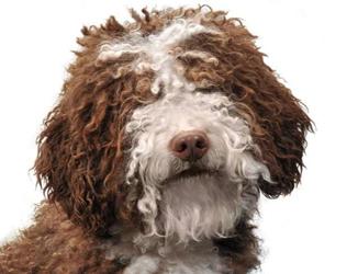 Испанская водяная собака - мордочка