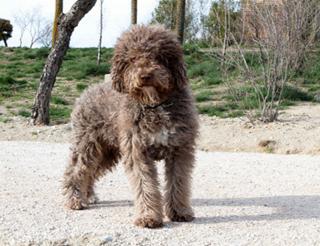 Испанская водяная собака на прогулке