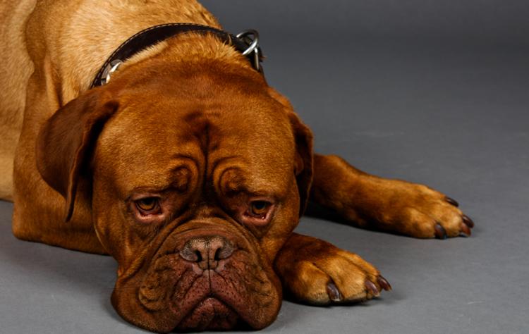 Признаки беременности у собак крупных пород