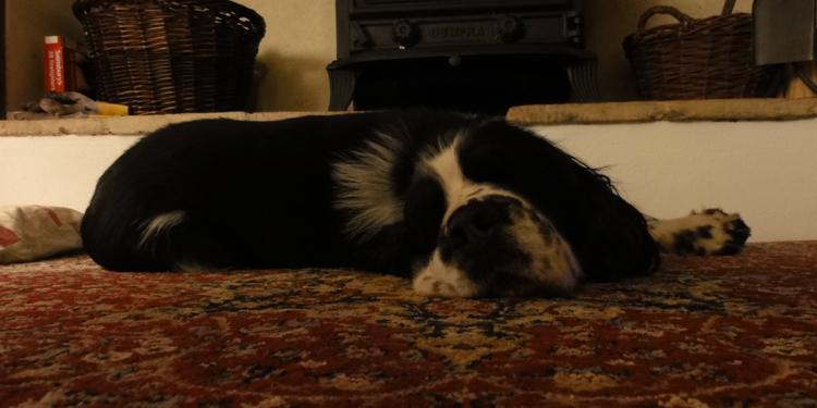 Собака с пироплазмозом