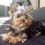 Лучшие породы собак для проживания в квартире — ТОП-10