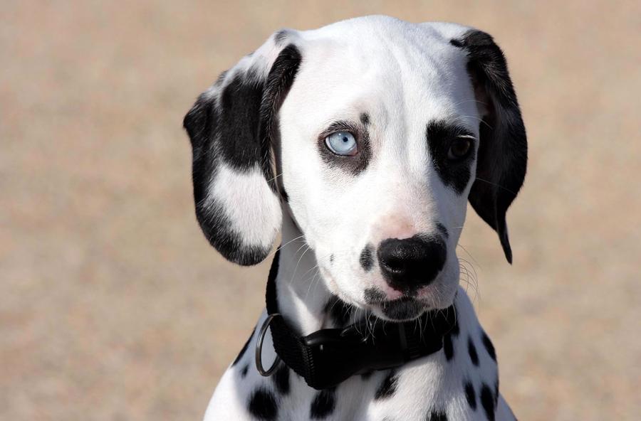 Blue dalmatian