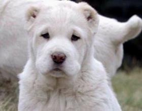 Как правильно выбрать щенка алабая