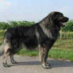 Югославская овчарка(Шарпланинац): описание породы, характер, фото