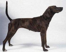 Древесная теннессийская тигровая собака