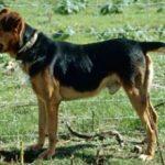 Новозеландская овчарка(Хантвей): описание и характеристика породы