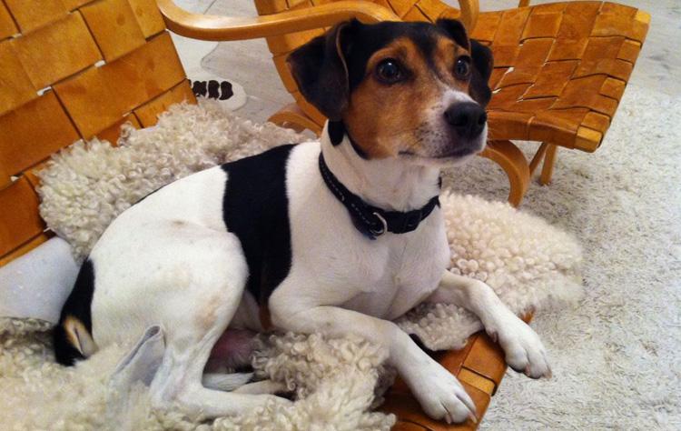 Датско-шведская фермерская собака дома