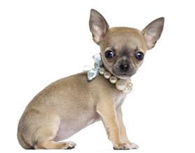 Как выбрать щенка чихуахуа как за ним ухаживать