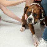 Как измерить температуру у собаки в домашних условиях