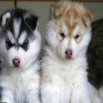 Как правильно выбрать щенка лайки и как за ним ухаживать?