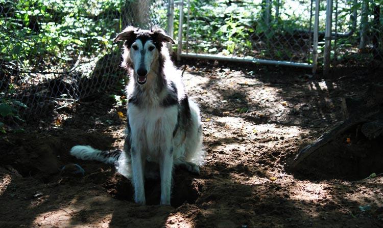 Собака около ямы